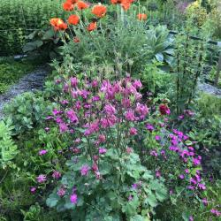 Jardinles especes pavot et ancolies 3