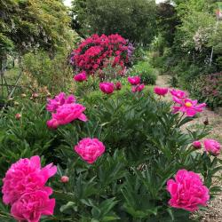 Jardinles especes pivoinerouge