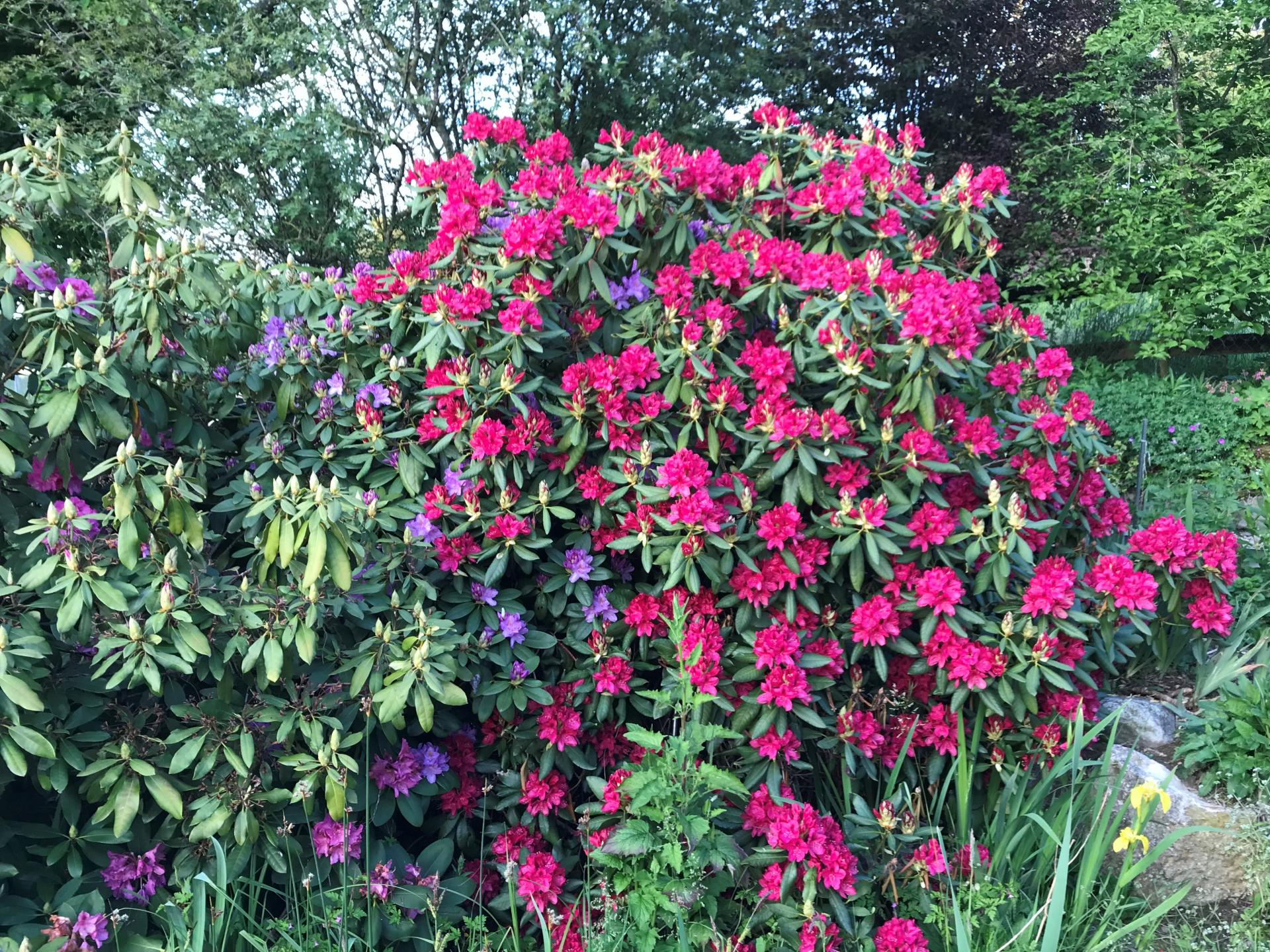 Jardinles especes rododendrons