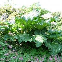 Jardinles especes rubarbe 36