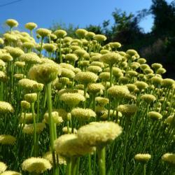 Jardinles especes santolinefeuillesromarin 26