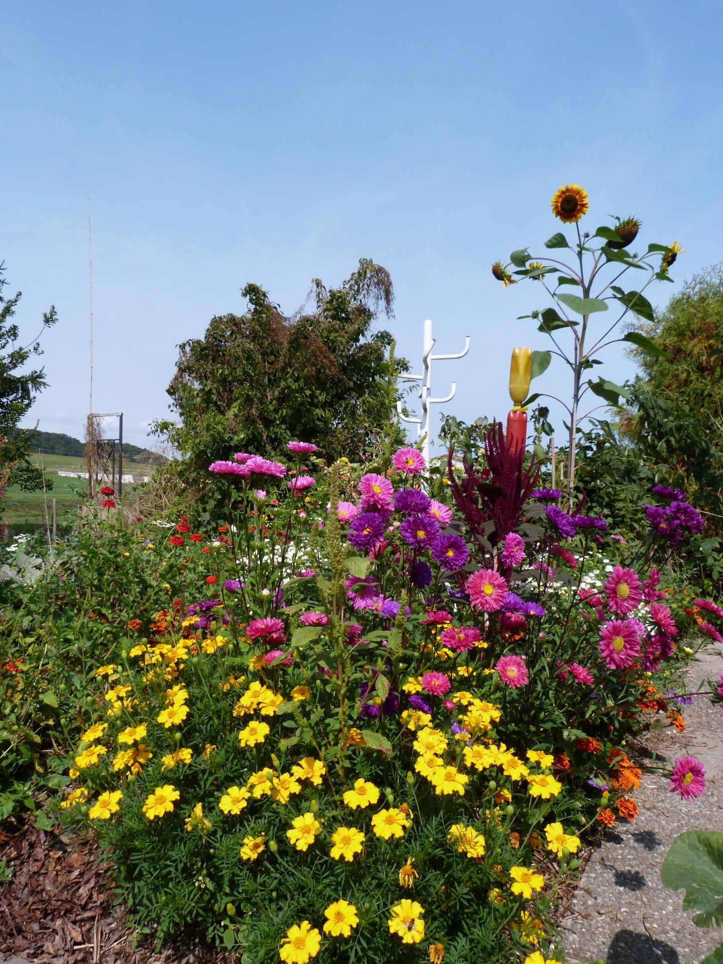 Jardinles especes tagetesetzinias 28 1