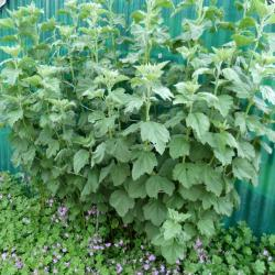 Jardinles especesguimauve 18