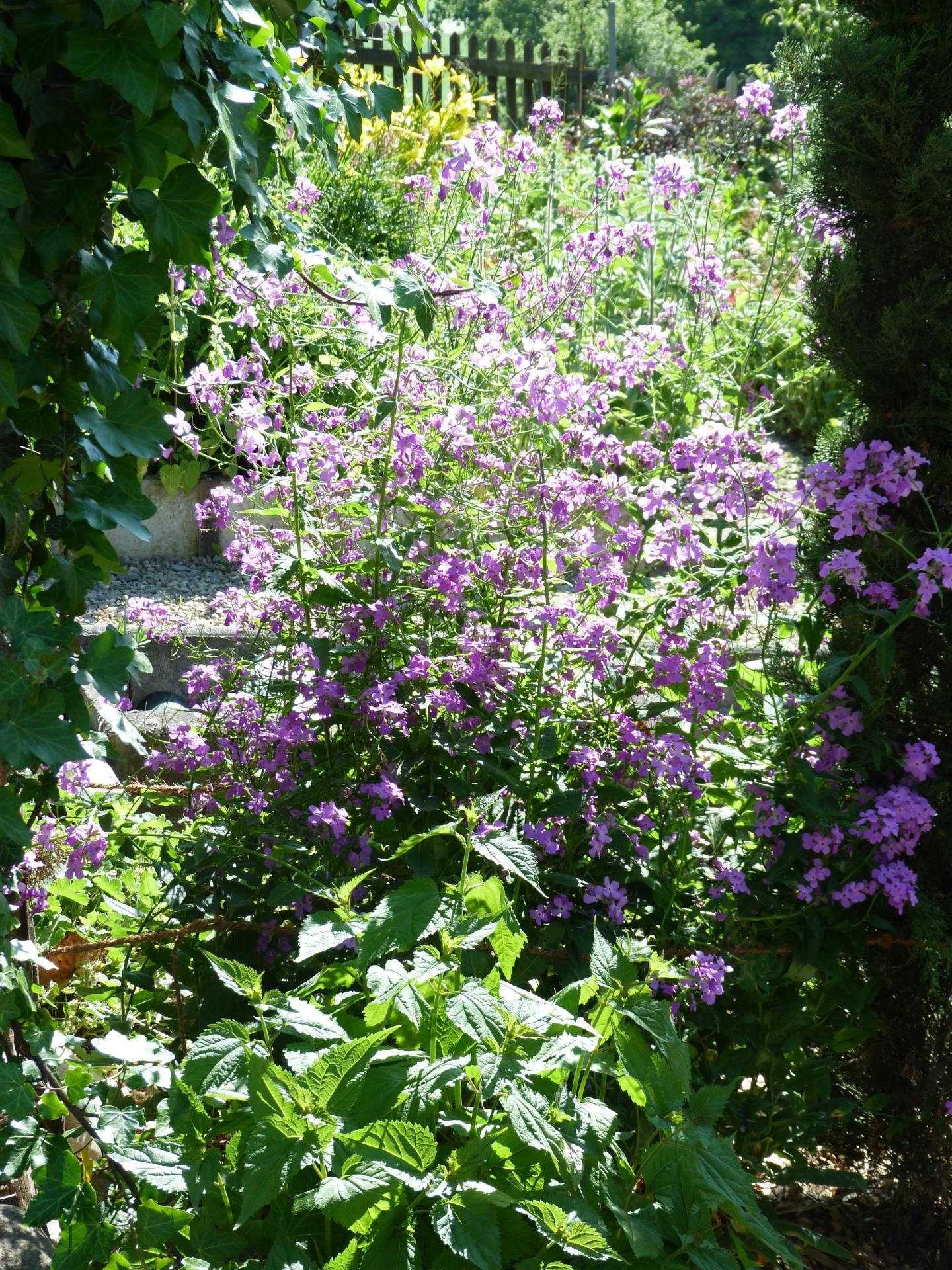 Jardinles especesjuliennedesdames 2