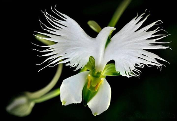 L orchidee aigrette blanche habenaria radiata