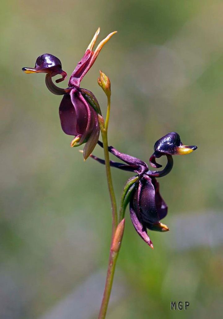 L orchidee canard volant caleana major