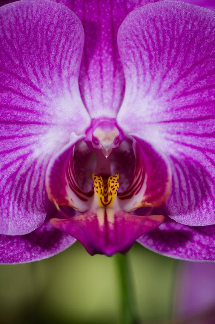 L orchidee papillon de nuit phalaenopsis