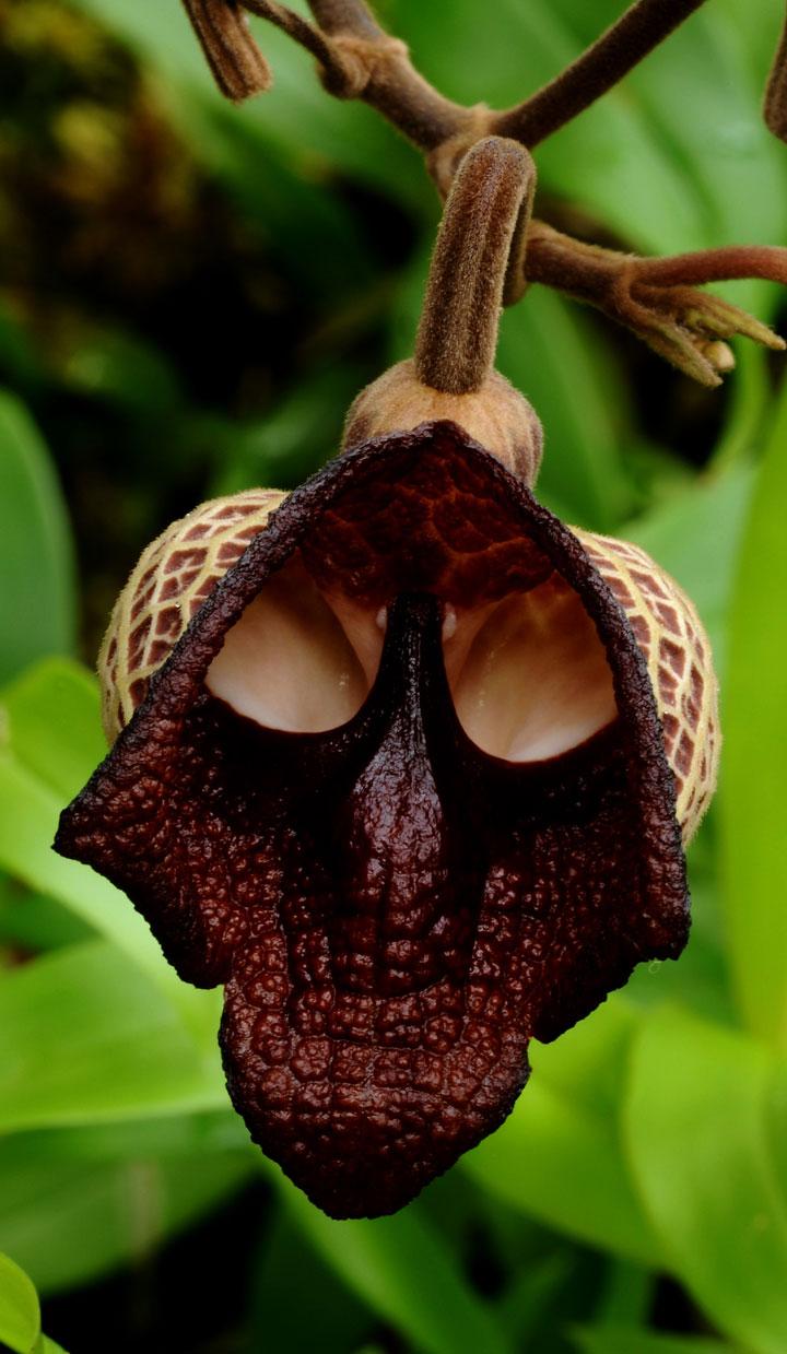 La fleur dark vador aristolochia salvadorensis