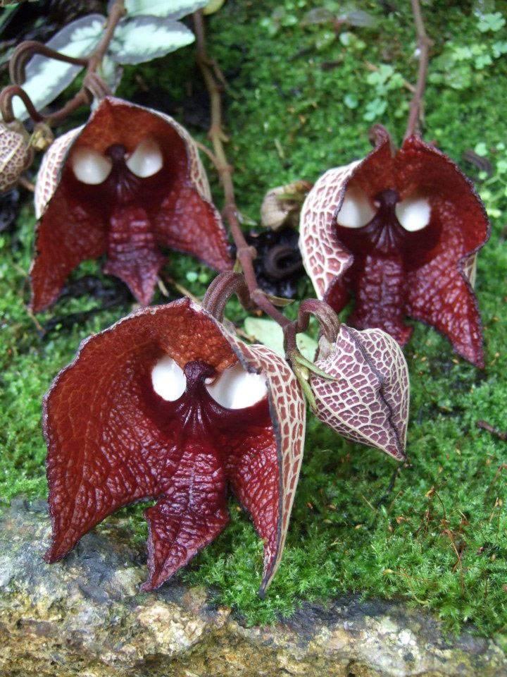 La fleur dark vador aristolochia salvadorensis 2