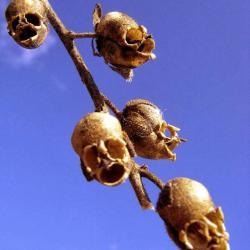 La fleur tete de mort antirrhinum