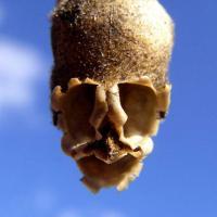 La fleur tete de mort antirrhinum 2