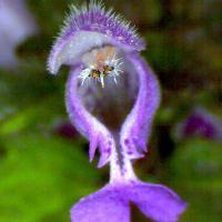 Lamier rouge lamum purpureum 14