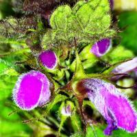 Lamier rouge lamum purpureum 3