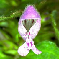 Lamier rouge lamum purpureum 4