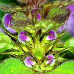 Lamier rouge lamum purpureum 9