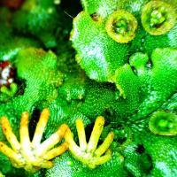 Lunularia cruciata hepatique des lieux humides 10