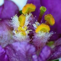 Molene phenicie verbascum phoeniceum 4