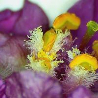 Molene phenicie verbascum phoeniceum 5