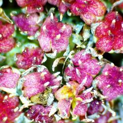 Orpin des jardins hylotelephium spectabile 2