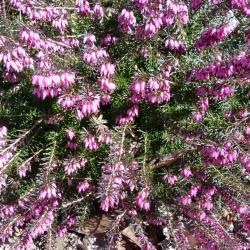 Bruyère carnée-Erica carnea