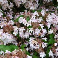 Kolwitzie-Kolwitzia amabilis