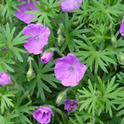 Géranium sanguin-Geranium sanguineum