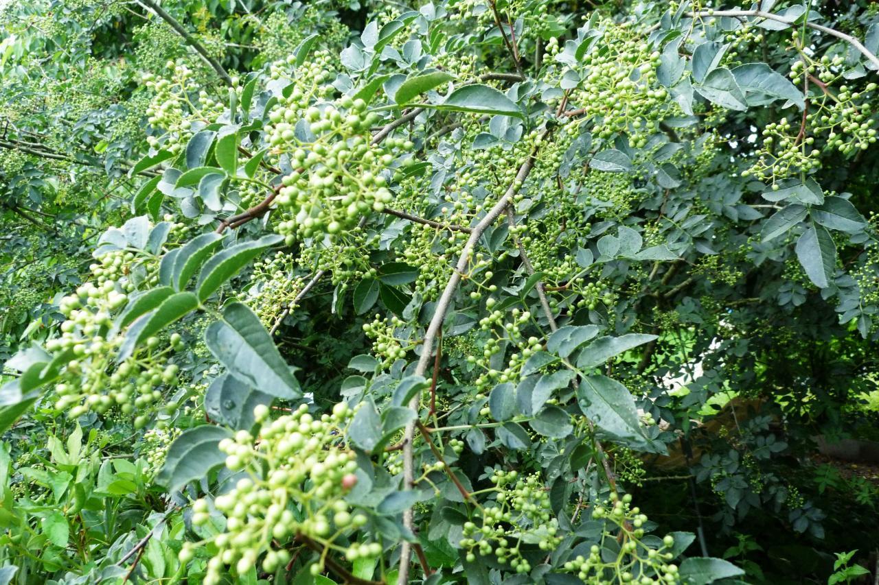 Bois piquant-Zanthoxilum americanum