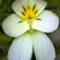 Pensee des champs viola arvensis 3