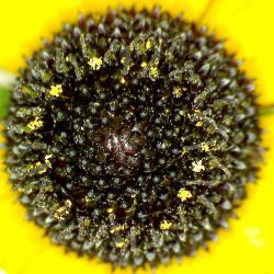 Rudbeckie jaune rudbeckia spp 3