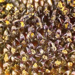 Rudbeckie jaune rudbeckia spp