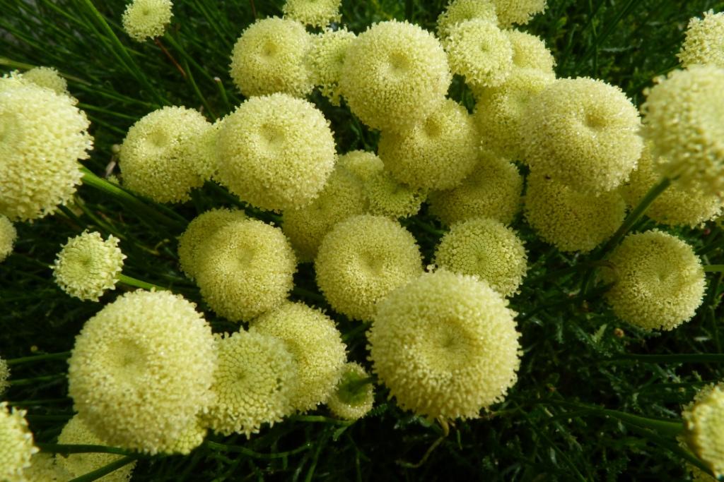 Santoline a feuilles de romarinp1010701