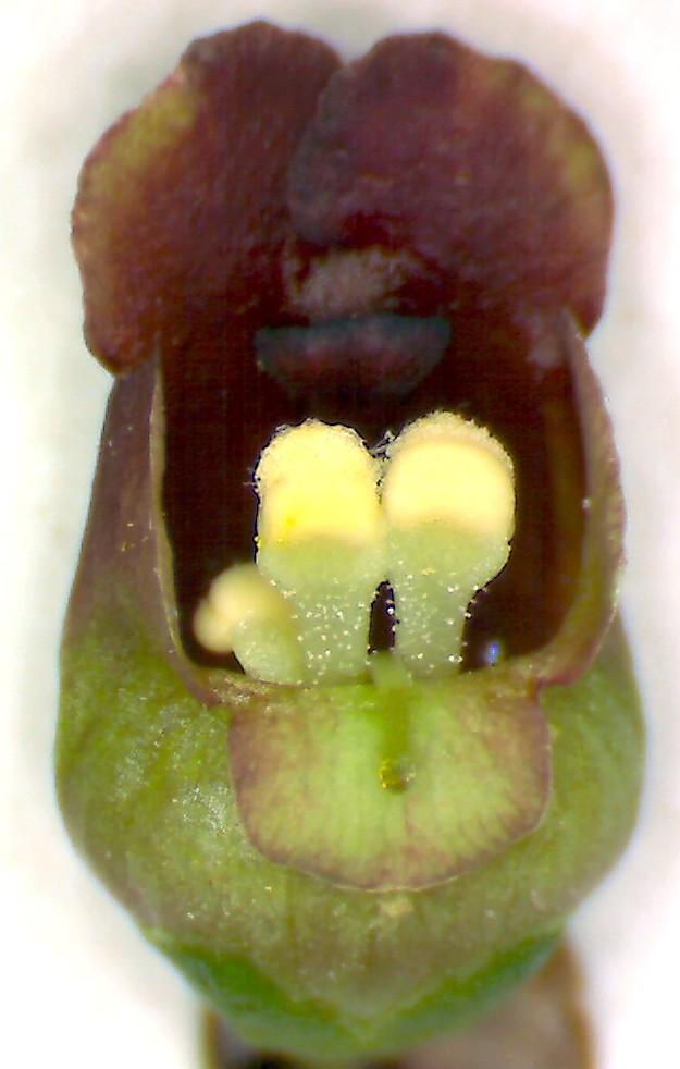 Scrophulaire noueuse scrophularia nosdosa 1