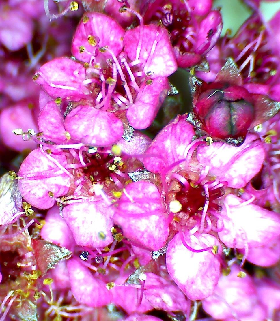 Spiree du japon spiraea japonica 3